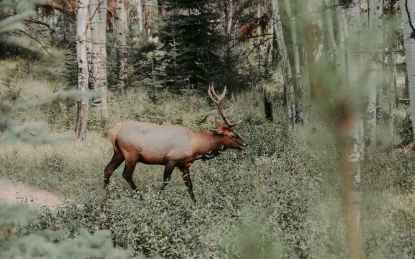 Mule deer in a wooded area