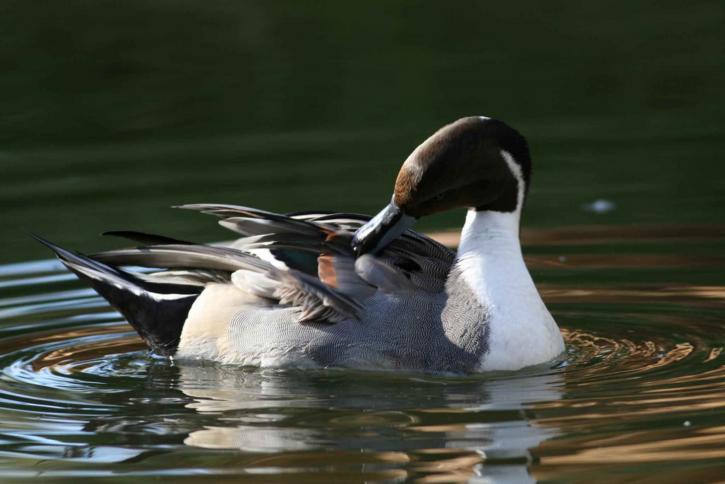texas migratory birds northern-pintail