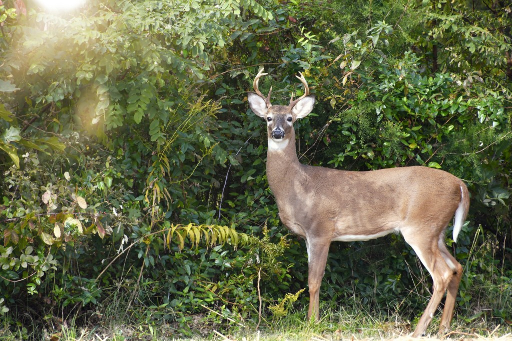 a-white-tail-deer-buck-standing-in-front-of-trees-and-bushes-looking-at-the-camera